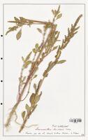 https://bibliotheque-virtuelle.bu.uca.fr/files/fichiers_bcu/Amanrathacees_Amaranthus_bouchonii_CLF114731.jpg