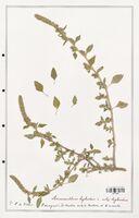 https://bibliotheque-virtuelle.bu.uca.fr/files/fichiers_bcu/Amanrathacees_Amaranthus_hybridus_CLF114739.jpg