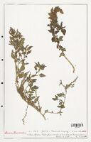 https://bibliotheque-virtuelle.bu.uca.fr/files/fichiers_bcu/Amanrathacees_Amaranthus_viridis_CLF114749.jpg