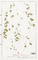 https://bibliotheque-virtuelle.bu.uca.fr/files/fichiers_bcu/Campanulaceae_Wahlenbergia_hederacea_CLF122464.jpg