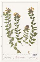 https://bibliotheque-virtuelle.bu.uca.fr/files/fichiers_bcu/Caprifoliaceae_Abelia_sinensis_CLF122476.jpg