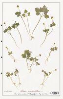 https://bibliotheque-virtuelle.bu.uca.fr/files/fichiers_bcu/Caprifoliaceae_Adoxa_moschatellina_CLF122477.jpg