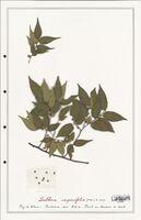 https://bibliotheque-virtuelle.bu.uca.fr/files/fichiers_bcu/Ulmaceae_Zelkova_carpinifolia_CLF122532.jpg