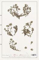https://bibliotheque-virtuelle.bu.uca.fr/files/fichiers_bcu/Boraginaceae_Alkanna_calliensis_CLF122535.jpg
