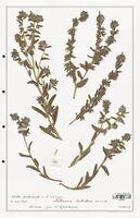 https://bibliotheque-virtuelle.bu.uca.fr/files/fichiers_bcu/Boraginaceae_Alkanna_tubulosa_CLF122537.jpg