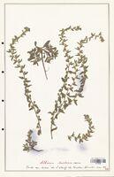https://bibliotheque-virtuelle.bu.uca.fr/files/fichiers_bcu/Boraginaceae_Alkanna_tinctoria_CLF122539.jpg