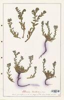 https://bibliotheque-virtuelle.bu.uca.fr/files/fichiers_bcu/Boraginaceae_Alkanna_tinctoria_CLF122540.jpg