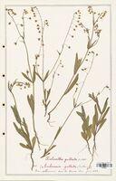 https://bibliotheque-virtuelle.bu.uca.fr/files/fichiers_bcu/Cistaceae_Xolantha_guttata_CLF122884.jpg