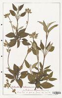 https://bibliotheque-virtuelle.bu.uca.fr/files/fichiers_bcu/Cistaceae_Xolantha_tuberaria_CLF122888.jpg