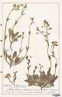 https://bibliotheque-virtuelle.bu.uca.fr/files/fichiers_bcu/Cistaceae_Xolantha_tuberaria_CLF122889.jpg
