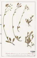 https://bibliotheque-virtuelle.bu.uca.fr/files/fichiers_bcu/Cistaceae_Xolantha_tuberaria_CLF122890.jpg