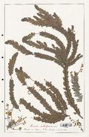 https://bibliotheque-virtuelle.bu.uca.fr/files/fichiers_bcu/Fabaceae_Acacia_cultriformis_CLF123609.jpg