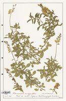 https://bibliotheque-virtuelle.bu.uca.fr/files/fichiers_bcu/Fabaceae_Adenocarpus_anagyrifolius_CLF123623.jpg