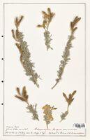 https://bibliotheque-virtuelle.bu.uca.fr/files/fichiers_bcu/Fabaceae_Adenocarpus_bacquei_CLF123624.jpg