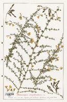 https://bibliotheque-virtuelle.bu.uca.fr/files/fichiers_bcu/Fabaceae_Adenocarpus_complicatus_CLF123626.jpg