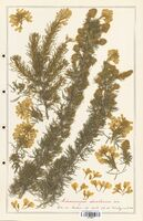 https://bibliotheque-virtuelle.bu.uca.fr/files/fichiers_bcu/Fabaceae_Adenocarpus_decorticans_CLF123627.jpg