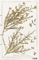 https://bibliotheque-virtuelle.bu.uca.fr/files/fichiers_bcu/Fabaceae_Adenocarpus_telonensis_CLF123630.jpg