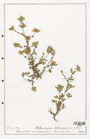 https://bibliotheque-virtuelle.bu.uca.fr/files/fichiers_bcu/Fabaceae_Adenocarpus_telonensis_CLF123632.jpg
