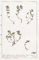 https://bibliotheque-virtuelle.bu.uca.fr/files/fichiers_bcu/Lamiaceae_Acinos_alpinus_CLF125463.jpg