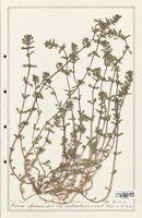 https://bibliotheque-virtuelle.bu.uca.fr/files/fichiers_bcu/Lamiaceae_Acinos_alpinus_CLF125464.jpg