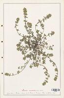 https://bibliotheque-virtuelle.bu.uca.fr/files/fichiers_bcu/Lamiaceae_Acinos_arvensis_CLF125466.jpg