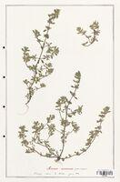 https://bibliotheque-virtuelle.bu.uca.fr/files/fichiers_bcu/Lamiaceae_Acinos_arvensis_CLF125467.jpg