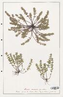 https://bibliotheque-virtuelle.bu.uca.fr/files/fichiers_bcu/Lamiaceae_Acinos_arvensis_CLF125468.jpg
