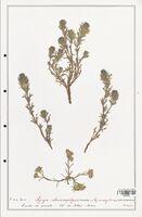 https://bibliotheque-virtuelle.bu.uca.fr/files/fichiers_bcu/Lamiaceae_Ajuga_chamaepitys_CLF125472.jpg