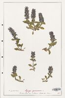 https://bibliotheque-virtuelle.bu.uca.fr/files/fichiers_bcu/Lamiaceae_Ajuga_genevensis_CLF125473.jpg