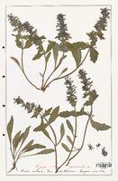 https://bibliotheque-virtuelle.bu.uca.fr/files/fichiers_bcu/Lamiaceae_Ajuga_genevensis_CLF125474.jpg
