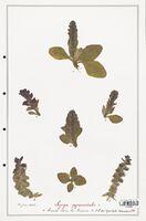 https://bibliotheque-virtuelle.bu.uca.fr/files/fichiers_bcu/Lamiaceae_Ajuga_pyramidalis_CLF125480.jpg