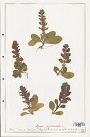 https://bibliotheque-virtuelle.bu.uca.fr/files/fichiers_bcu/Lamiaceae_Ajuga_pyramidalis_CLF125481.jpg