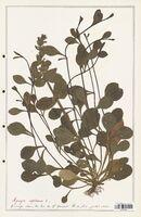 https://bibliotheque-virtuelle.bu.uca.fr/files/fichiers_bcu/Lamiaceae_Ajuga_reptans_CLF125482.jpg
