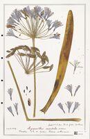 https://bibliotheque-virtuelle.bu.uca.fr/files/fichiers_bcu/Liliaceae_Agapanthus_orientalis_CLF301356.jpg
