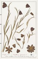 https://bibliotheque-virtuelle.bu.uca.fr/files/fichiers_bcu/Liliaceae_Fritillaria_pyrenaica_CLF301408.jpg