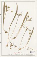 https://bibliotheque-virtuelle.bu.uca.fr/files/fichiers_bcu/Liliaceae_Gagea_lutea_CLF301426.jpg