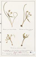 https://bibliotheque-virtuelle.bu.uca.fr/files/fichiers_bcu/Liliaceae_Gagea_villosa_CLF301433.jpg