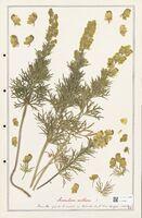 https://bibliotheque-virtuelle.bu.uca.fr/files/fichiers_bcu/Ranunculaceae_Aconitum_anthora_CLF302490.jpg