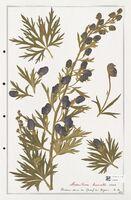 https://bibliotheque-virtuelle.bu.uca.fr/files/fichiers_bcu/Ranunculaceae_Aconitum_burnatii_CLF302491.jpg