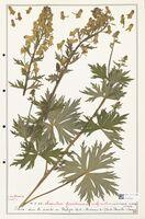 https://bibliotheque-virtuelle.bu.uca.fr/files/fichiers_bcu/Ranunculaceae_Aconitum_lycoctonum_CLF302493.jpg