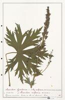 https://bibliotheque-virtuelle.bu.uca.fr/files/fichiers_bcu/Ranunculaceae_Aconitum_lycoctonum_CLF302494.jpg