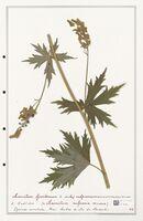 https://bibliotheque-virtuelle.bu.uca.fr/files/fichiers_bcu/Ranunculaceae_Aconitum_lycoctonum_CLF302495.jpg