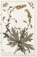 https://bibliotheque-virtuelle.bu.uca.fr/files/fichiers_bcu/Ranunculaceae_Aconitum_lycoctonum_CLF302496.jpg