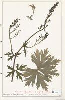 https://bibliotheque-virtuelle.bu.uca.fr/files/fichiers_bcu/Ranunculaceae_Aconitum_lycoctonum_CLF302497.jpg