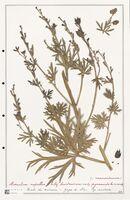 https://bibliotheque-virtuelle.bu.uca.fr/files/fichiers_bcu/Ranunculaceae_Aconitum_napellus_CLF302498.jpg