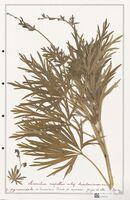 https://bibliotheque-virtuelle.bu.uca.fr/files/fichiers_bcu/Ranunculaceae_Aconitum_napellus_CLF302499.jpg