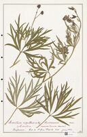 https://bibliotheque-virtuelle.bu.uca.fr/files/fichiers_bcu/Ranunculaceae_Aconitum_napellus_CLF302501.jpg