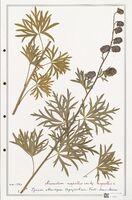 https://bibliotheque-virtuelle.bu.uca.fr/files/fichiers_bcu/Ranunculaceae_Aconitum_napellus_CLF302503.jpg