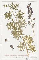 https://bibliotheque-virtuelle.bu.uca.fr/files/fichiers_bcu/Ranunculaceae_Aconitum_napellus_CLF302504.jpg