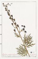 https://bibliotheque-virtuelle.bu.uca.fr/files/fichiers_bcu/Ranunculaceae_Aconitum_napellus_CLF302505.jpg